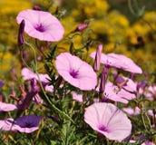 Wild flowers morning glory in full splendor Stock Photos