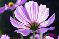 Wild flowers in morning. Pink Cosmos flowers in morning. Shallow depth of field Stock Photos