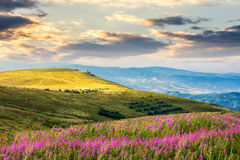 Wild flowers on the mountain hill at sunrise Stock Image