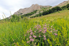 Wild flowers on mountain meadow Stock Photography