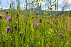 Wild flowers in mountains. The fields are in Carpathian mountains Stock Images