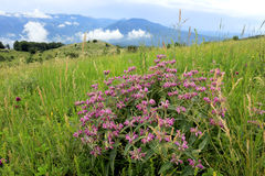 Wild flowers in mountains Stock Photos