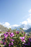 Wild flowers in mountains Stock Image
