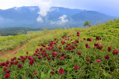 Wild flowers in mountains Stock Photography
