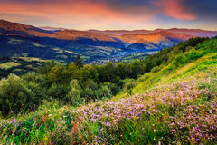 Wild flowers in mountains. Savory among the grass on the hillside cool early morning Stock Photo