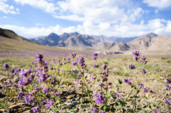 Wild flowers on the mountains on the way to Lamayuru Stock Images