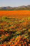 Wild flowers in Namaqualand, South Africa Royalty Free Stock Photos