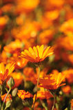 Wild flowers in Namaqualand, South Africa Royalty Free Stock Photo