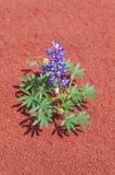 Wild Flowers near Evaporation Ponds - Potash Road in Moab Utah Stock Images