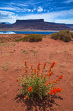Wild Flowers near Evaporation Ponds - Potash Road in Moab Utah Royalty Free Stock Images