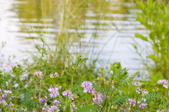 Wild flowers near lake Royalty Free Stock Photo
