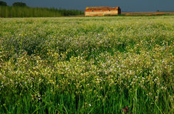 Wild flowers and old Barn Royalty Free Stock Photography