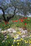 Wild flowers and olive tree. Three different subjects which blend together perfectly in rural Spain Royalty Free Stock Images