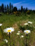 Wild flowers in an open field. Trees, nature, explore, outside, outdoors, white, yellow, blue, green, bloom, wilderness, hiking, sky, background stock photography
