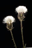 Wild flowers. A pair of matured wild flowers Stock Photography