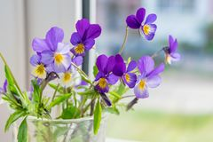 Wild flowers of the pansies on the window royalty free stock images