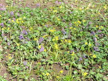 Wild flowers patter. Yellow and violet wild spring flowers, Lithuania royalty free stock photo