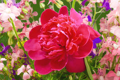 Wild flowers and peony Stock Images