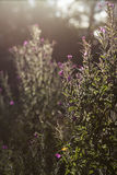 Wild Flowers Photographed into the Sun at Sunset Royalty Free Stock Photo