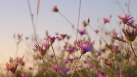 Wild flowers of pink color closeup stock footage