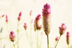 Wild flowers. Pink wild flower is in vintage feel Stock Photos