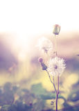 Wild flowers and plants dandelions, Stock Photography