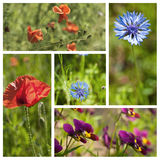 Wild flowers poppies corn flowers and purple flowers collage Stock Image