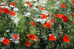 Wild flowers with Poppies Royalty Free Stock Image