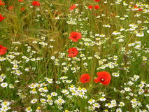Wildflowers. Poppy's, Daisies and Barley dancing in the breeze and summer sun Stock Images