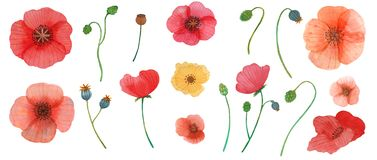 Wild flowers poppy watercolor pattern illustration seamless royalty free stock photography