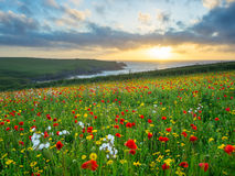 Wild flowers at Porth Joke Cornwall Stock Photo
