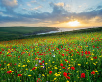 Wild flowers at Porth Joke Cornwall Royalty Free Stock Photo