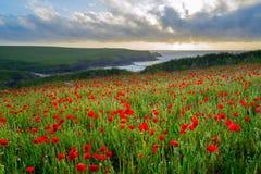 Wild flowers at Porth Joke Cornwall Stock Photo
