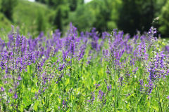Wild flowers of purple. Field of beautiful wild flowers of purple stock photography