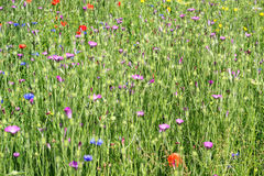 Wild flowers purple. royalty free stock images
