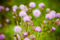 Wild flowers. Wild purple flowers on green background Stock Photography
