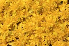 Wild flowers - Raison bush Stock Photography