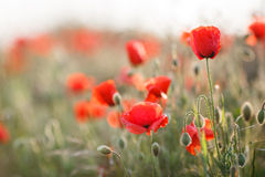 Wild flowers of the red poppy. Bright red flowers of the wild poppy field on a summer green meadow, open with red petals and black center flowers on thin green stock photo