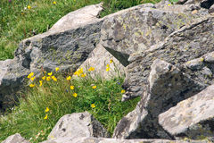 Wild flowers and rocks Stock Images