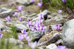 Wild flowers on rocky terrain royalty free stock photos