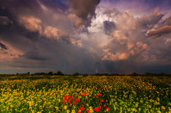 Wild flowers and rural fields in summer under storm sky Royalty Free Stock Photo