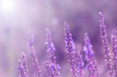 Wild flowers of sage. Violet flowers with a toned background. Selective focus.  stock images