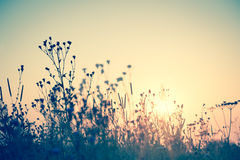 Wild flowers silhouette against sun, vintage Royalty Free Stock Photography