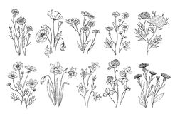 Wild flowers. Sketch wildflowers and herbs nature botanical elements. Hand drawn summer field flowering vector set. Illustration of floral field, wild flower vector illustration