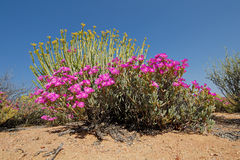 Wild flowers - South Africa Stock Photo