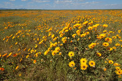 Wild flowers - South Africa Royalty Free Stock Images