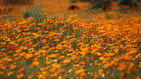 Wild flowers - South Africa stock video footage