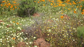 Wild flowers - South Africa stock footage