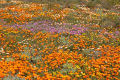 Wild flowers - South Africa Stock Images