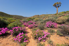 Wild flowers - South Africa Royalty Free Stock Photos